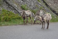 Jasper-Bergziegen