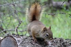 Jasper-Eichhörnchen