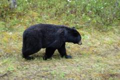 Jasper-Schwarzbär