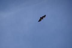 Picos-de-Europa-Adler-im-Flug