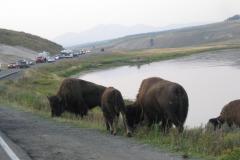 Yellowstone Bisons