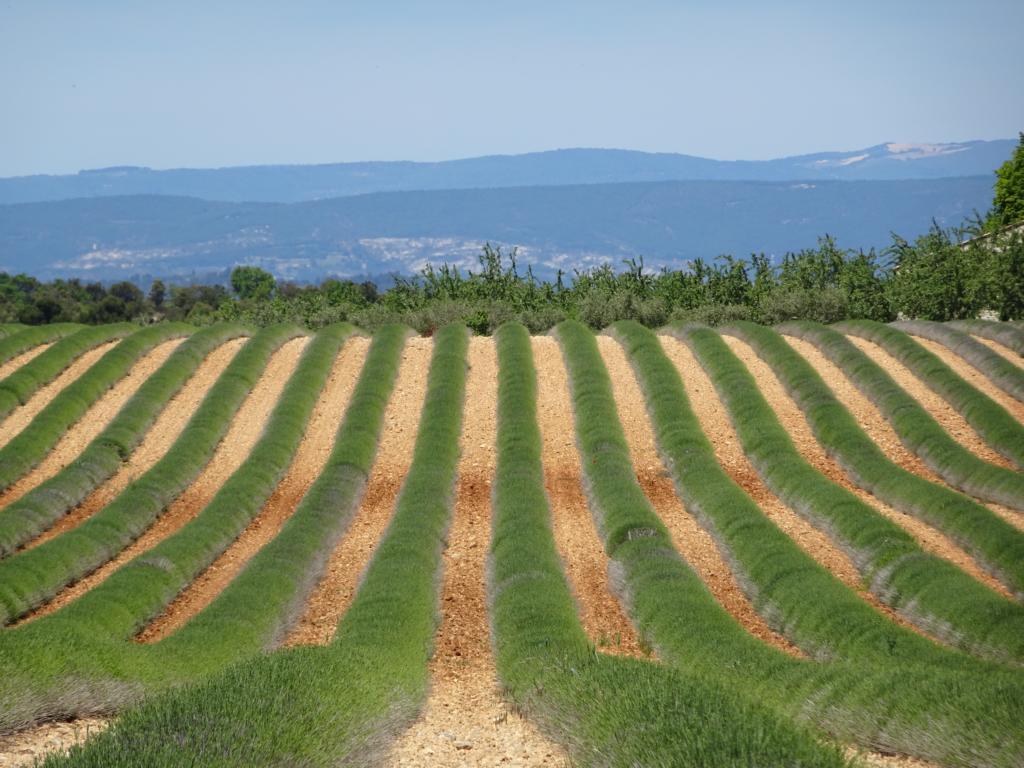 Road Trip Südfrankreich Italien - Lavendelfeld im Frühjahr