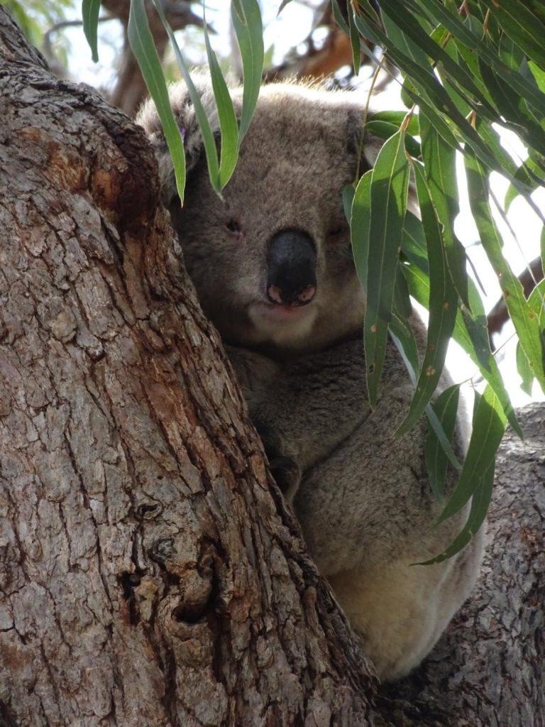 Raymond Island - Koala schaut in die Kamera