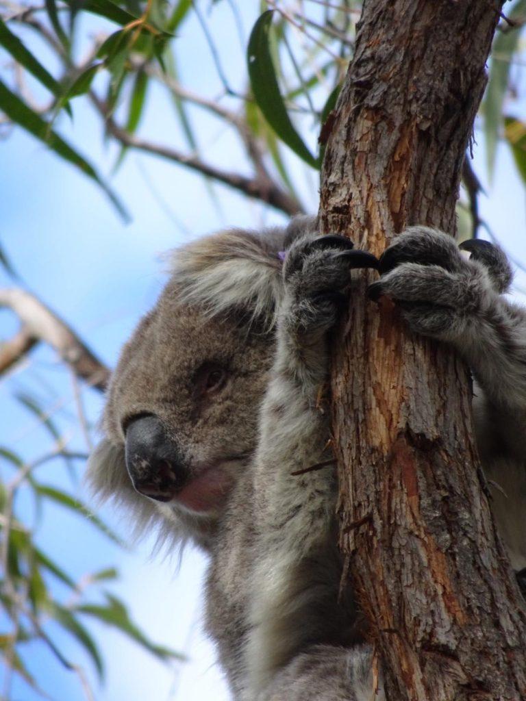 Raymond Island - Koala Nahaufnahme