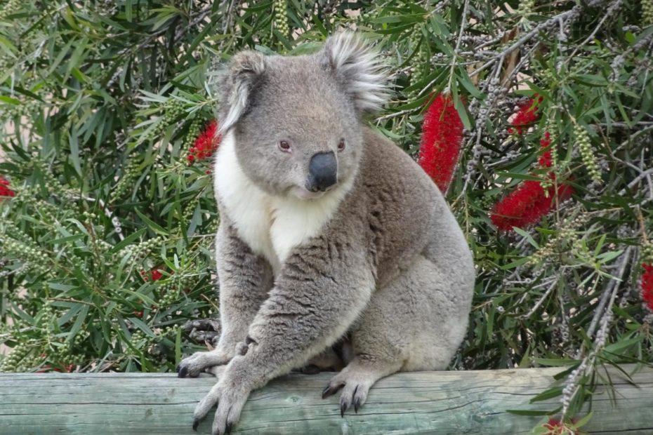 Raymond Island - Koala auf dem Zaun