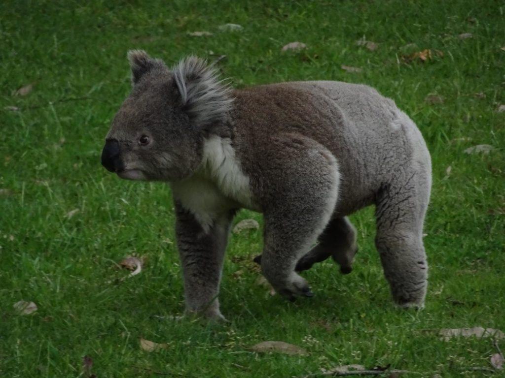 Raymond Island - Koala auf der Wiese