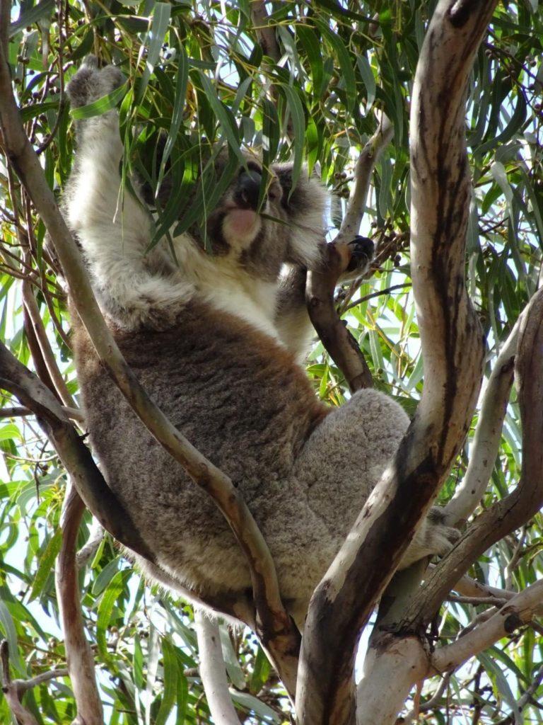 Raymond Island - Koala frisst