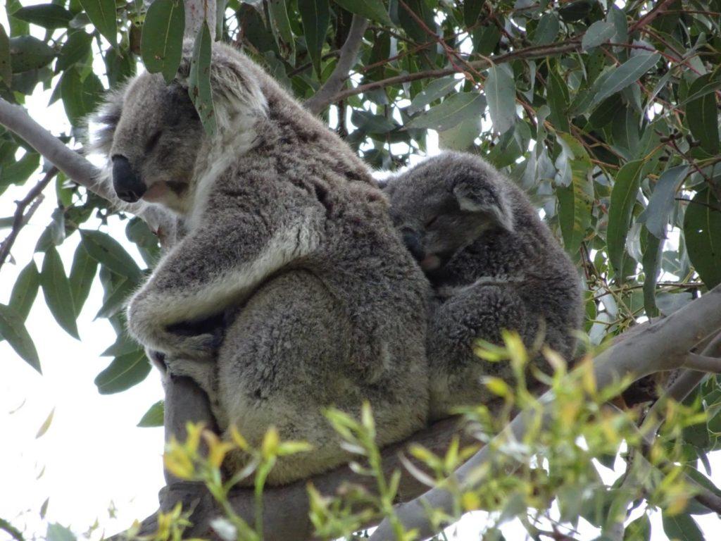 Raymond Island - Koalamama mit Baby