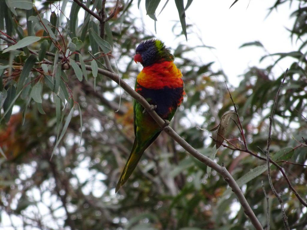 Raymond Island - Papagei