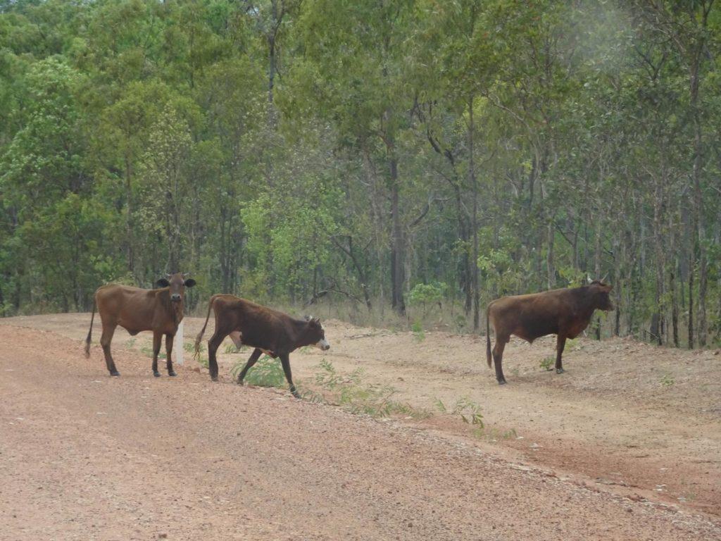 Lakefield Nationalpark - Rinder