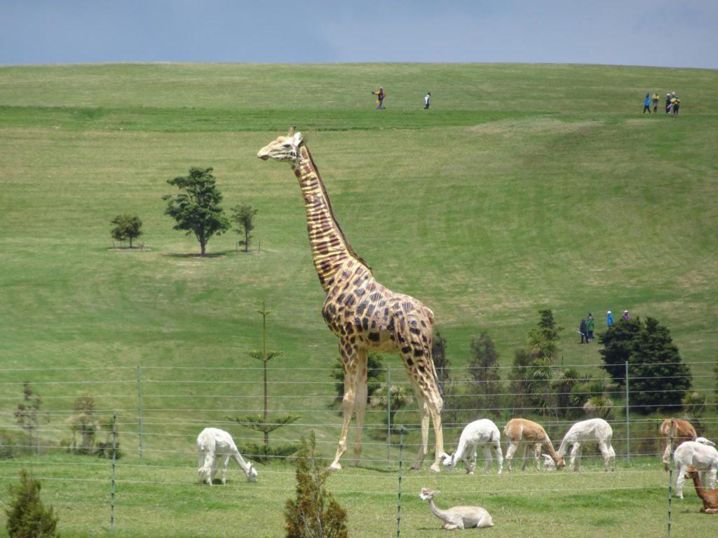 Gibbs Farm - Giraffe