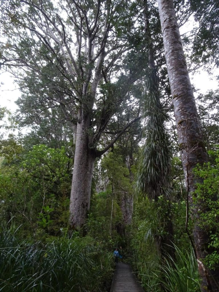Die Kauri Walks