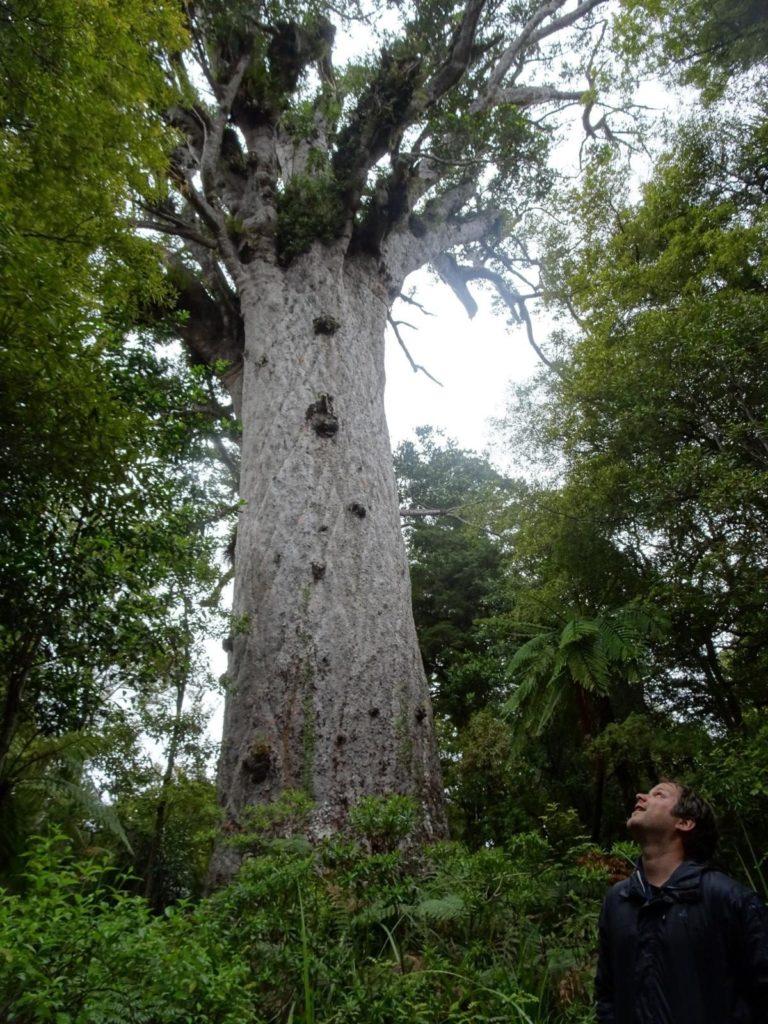 Tane Mahuta - Der Gott des Waldes