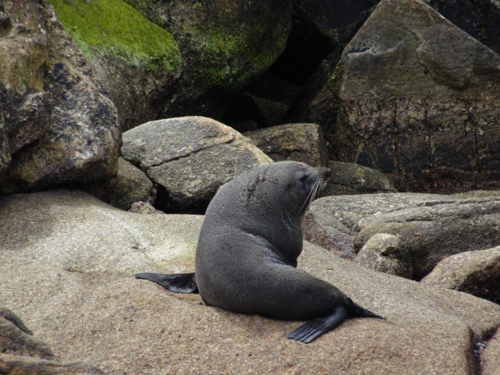 Kayak Abel Tasman Seelöwe Männchen
