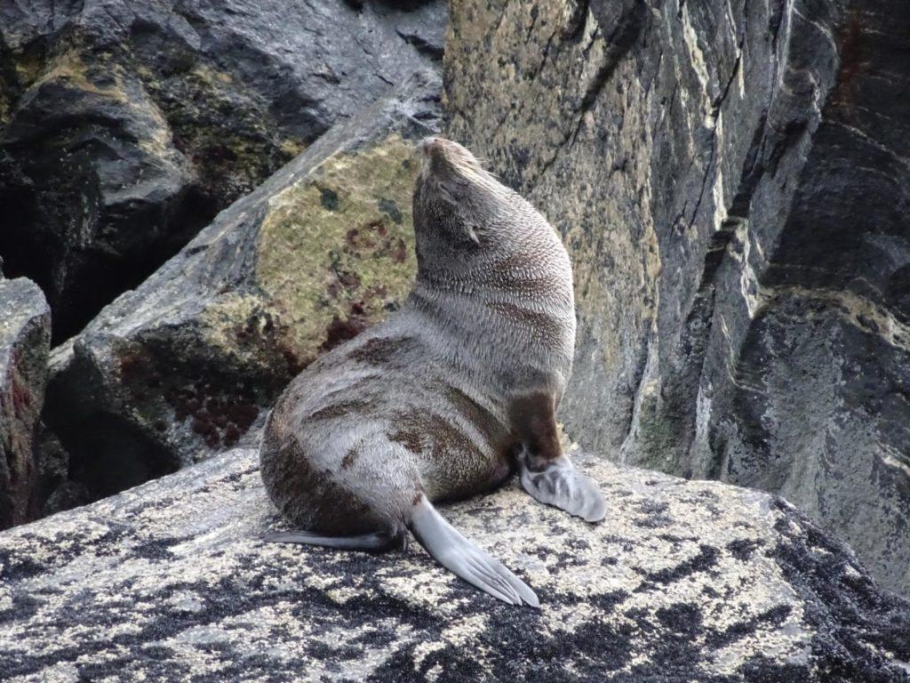 Milford Sound Seelöwenkolonie