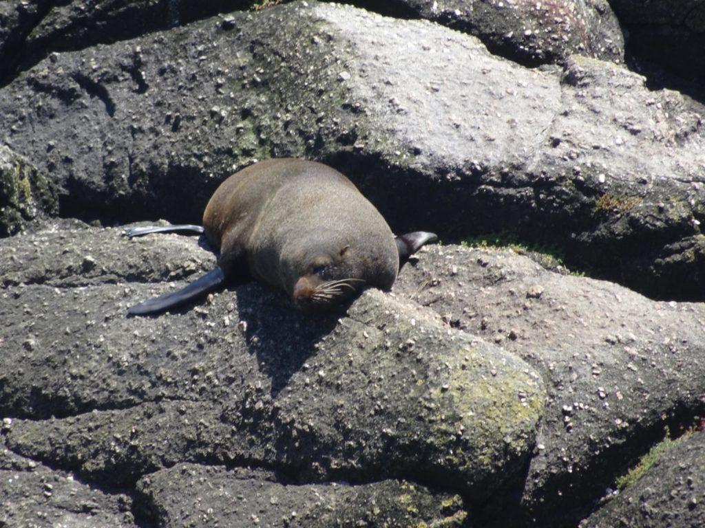 Seelöwen bei Cape Foulwind