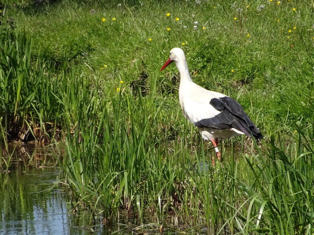 Storch im Elsass